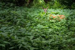 Deer Hidden in the Woods Royalty Free Stock Photography