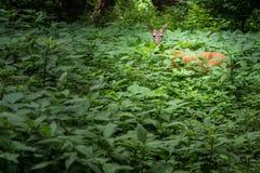 Deer Hidden in the Woods Royalty Free Stock Photography