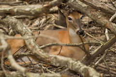 Deer hides from Hunters. A deer hides in the woods behind tree branches Stock Photo