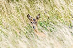Deer hides in the tall grass royalty free stock image