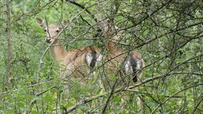 Deer hiding in the shade 8. A beautiful day in Essex, England royalty free stock photo