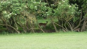 Deer Hiding in the shade. A beautiful day in Essex, England royalty free stock images