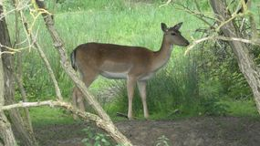Deer hiding in the shade 3. A beautiful day in Essex, England royalty free stock image