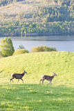 Deer, Highlands Stock Image