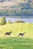 Deer, Highlands Stock Image