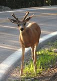 Deer at the highway Royalty Free Stock Image