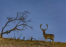 A deer on a hill and a lone tree and brown green field royalty free stock photography