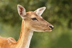 Deer hind over green background Stock Images