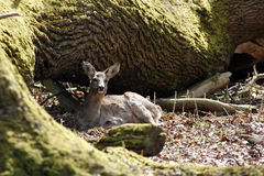 Deer hind in winter coat resting at a tree Stock Photography