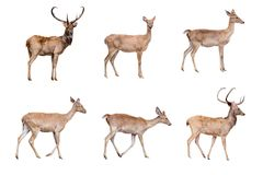 Deer and hinds isolated. On white with clipping path Stock Photos