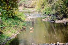 Deer and hinds walking through water to forest. Wildlife in natural habitat Royalty Free Stock Image