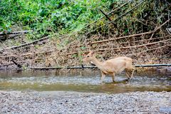 Deer and hinds walking through water to forest. Wildlife in natural habitat Stock Photography