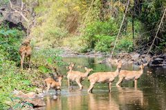Deer and hinds walking through water to forest. Wildlife in natural habitat Stock Photo