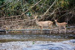 Deer and hinds walking through water to forest. Wildlife in natural habitat Royalty Free Stock Photos