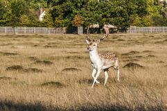 Deer, Home Park, Surrey, England, United Kingdom royalty free stock photos
