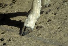 Deer hoof Stock Photo