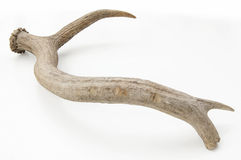 Deer horn isolated. Deer antler with marks on white royalty free stock photos