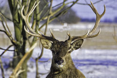 Deer with horns Royalty Free Stock Photos