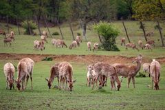 Deer without horns graze on a meadow. Animals Stock Photo