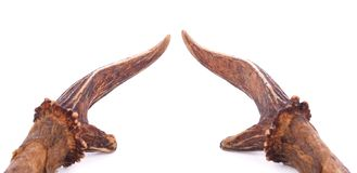 Deer horns isolated on the white background.Little horns. Deer horns isolated on the white background.Little horns deer royalty free stock photography