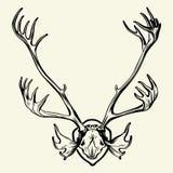 Deer horns (Rangifer tarandus) Stock Photos