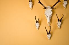 Deer horns trophy on wall. Deer horns trophy on the wall with copyspace stock photography