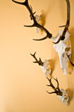 Deer horns trophy on wall Royalty Free Stock Images