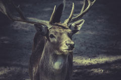 Deer with horns Royalty Free Stock Images