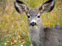 Deer with Huge Ears Stock Images