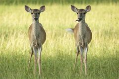 Deer humour Stock Photography