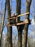 Deer Hunter in a Treestand. Deer hunter sitting in a Deerstand in a forest Stock Photos