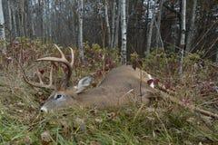 Deer Hunting in Minnesota royalty free stock image