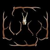 Deer hunting trophies on dark background. Deer hunting trophies ( red and roe deer, cervus elaphus, capreolus ) on dark background royalty free stock image