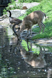 Deer ibex long horn sheep Steinbock while drinking Stock Photography