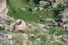 Deer ibex long horn sheep Steinbock Stock Image