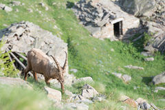 Deer ibex long horn sheep Steinbock Royalty Free Stock Photos