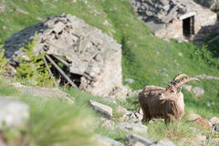 Deer ibex long horn sheep Steinbock Stock Photography
