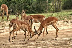 Deer, impala antelope  fighting Stock Images