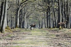 Free Deer In Forest Stock Photos - 94979163