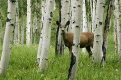 Deer In Forrest Stock Image
