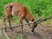 Deer In Net 3 Royalty Free Stock Images