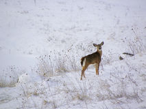Free Deer In Snow Stock Photography - 44672932