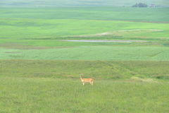 Deer in an infitine green field royalty free stock photography