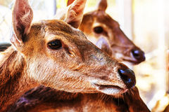 Deer inside a zoo Royalty Free Stock Photo
