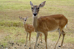 Deer Insolent. Mother deer and young deer sticking his tongue out Stock Images