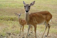 Deer Insolent Stock Images