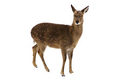 Deer isolated Stock Photo