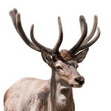 Deer isolated. The ruminant artiodactyl mammal, harmonous, with branchy horns and a short tail Royalty Free Stock Photo