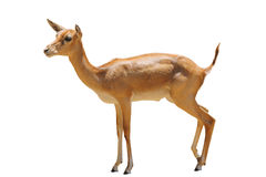 Deer isolated. Brown Deer animal isolated on white background Royalty Free Stock Image