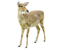 Deer isolated on the white background. Stock Image